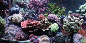 symperifora-koralion