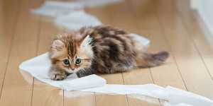 Γάτα και τουαλέτα