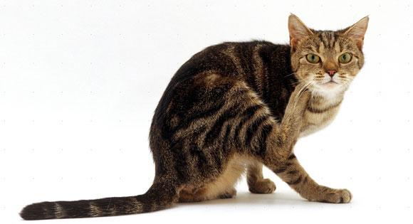 d90c6fdca7ce Όταν η γάτα μας χάνει τρίχωμα σε χρονική περίοδο που δεν δικαιολογείται